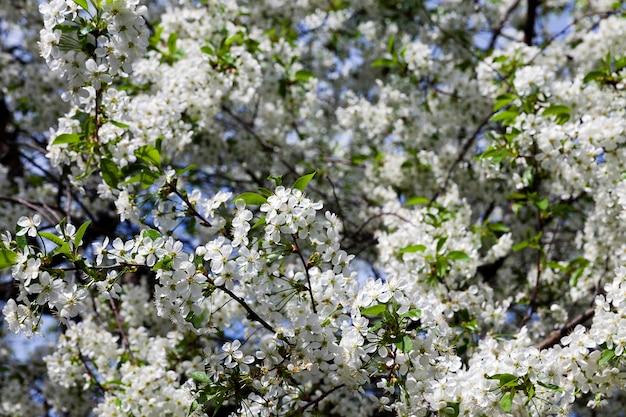 Sfotografowany z bliska białe kwiaty wiśni. wiosna