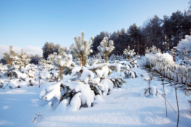 Sfotografowany z bliska jodły. sezon zimowy, przyroda