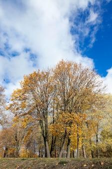 Sfotografowany z bliska liści żółtego koloru na drzewach, jesień, mała głębia ostrości