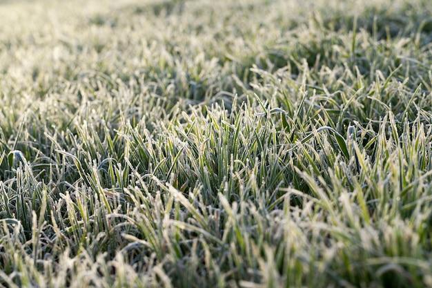 Sfotografowany z bliska młode rośliny trawiaste zielone pszenicy rosnące na polach rolnych, rolnictwo, o świcie słońca, rozmycie