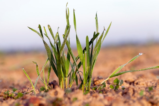 Sfotografowany z bliska młode rośliny trawiaste zielone pszenicy rosnące na polach uprawnych, rolnictwo, na tle błękitnego nieba