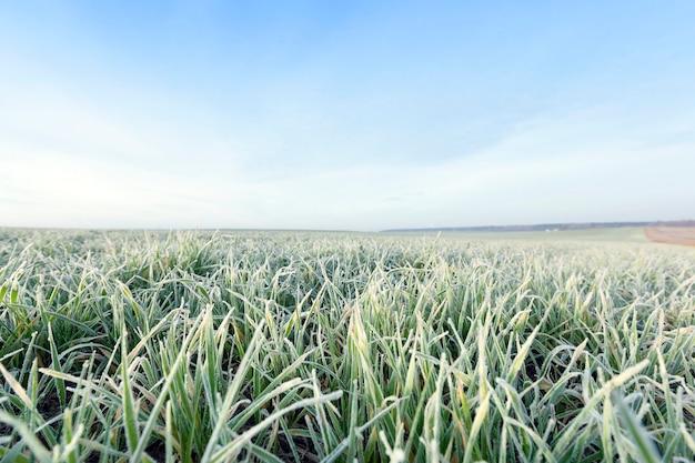 Sfotografowany z bliska młode rośliny trawiaste zielone pszenicy rosnące na polach uprawnych, rolnictwo, poranny szron na liściach