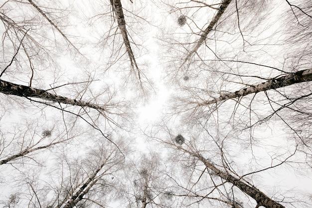 Sfotografowany z bliska wierzchołki drzew w sezonie zimowym