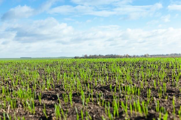 Sfotografowany z bliska zielone kiełki pszenicy na początku ich wzrostu w polu uprawnym, w sezonie wiosennym