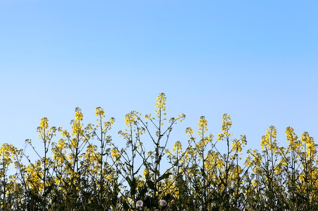 Sfotografowany z dołu kwitnących wiosną krzewów rzepaku