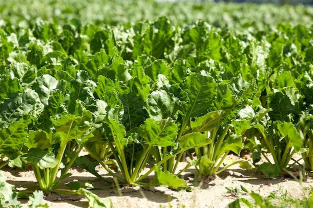 Sfotografowany zbliżenie młodych zielonych buraków, rosnących na polu