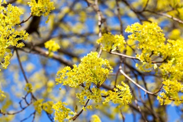 Sfotografowany zbliżenie zielone i żółte kwiaty kwitnącego klonu drzewa