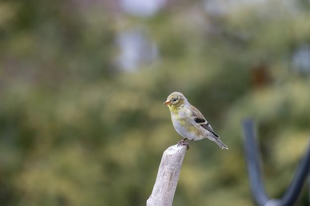 Shallow fokus strzał ptaka american goldfinch spoczywającej na gałązce