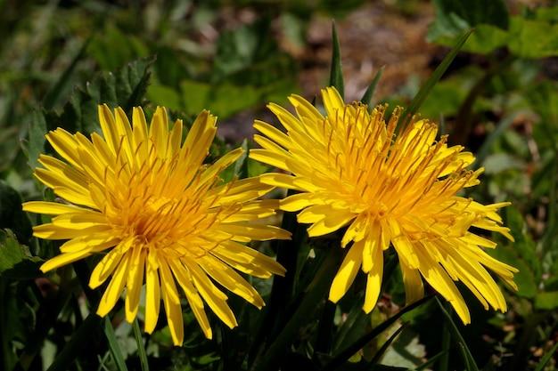 Shallow fokus strzał żywe żółte kwiaty w rozmazanej odległości