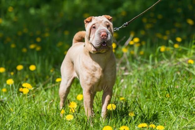 Shar pei pies na smyczy z zielonej trawie