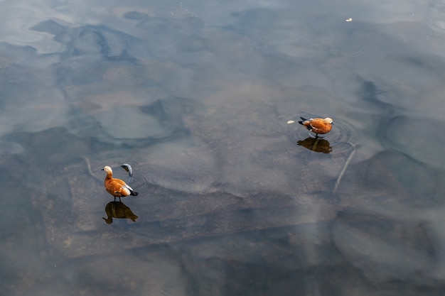Shelducks na ciemnej powierzchni wody