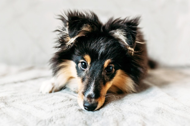 Shelty szczeniak i gwiazda, pies domowy, zwierzak i przyjaciel rodziny