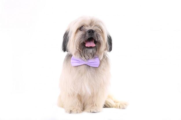 Shih tzu pies z muszką na białym tle