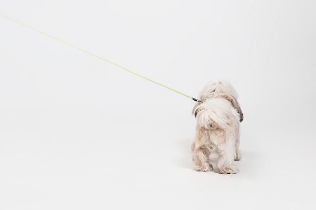 Shih-tzu szczeniak na sobie pomarańczową kokardkę. ładny piesek lub zwierzę stoi na białym tle na białym tle. pies chryzantemy. spacja w negatywie, aby wstawić tekst lub obraz.