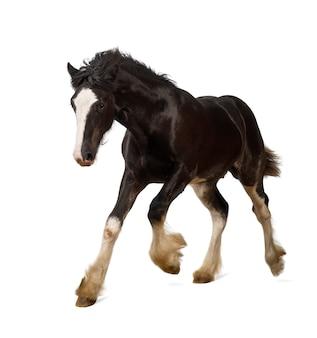 Shire horse źrebię galopujący przeciwko białej przestrzeni