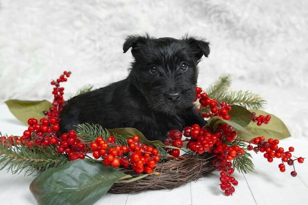 Shot of scottish terrier puppy na białej ścianie