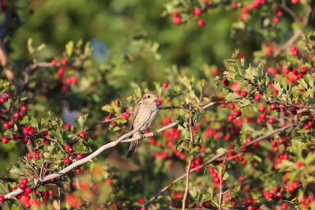 Shrique czerwonolistny siedzi na krzaku głogu otoczonym jaskrawoczerwonymi jagodami