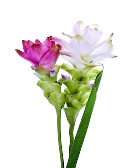 Siam tulip fioletowo-różowy i biały na białym tle