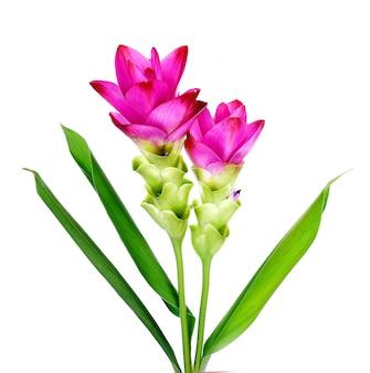 Siam tulip fioletowo-różowy na białym tle