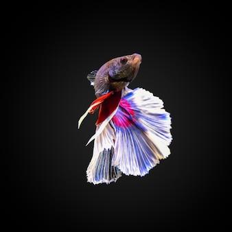 Siamese walka z rybami
