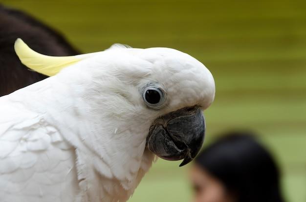 Siarka czubaty portret kakadu