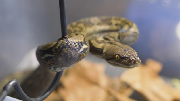 Siatkowane python / python siatkuje