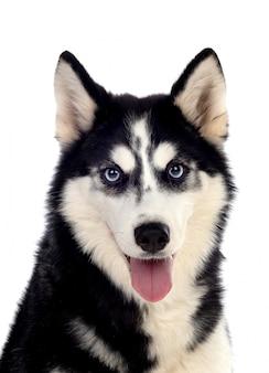 Siberian huskie o niebieskich oczach