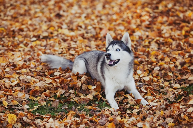 Siberian husky pies o niebieskich oczach, leżącego w lesie jesienią