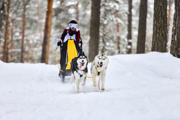 Siberian husky psich zaprzęgów wyścigowych. zimowe zawody mushing. husky psy zaprzęgowe w uprzęży ciągną sanie z psim kierowcą.