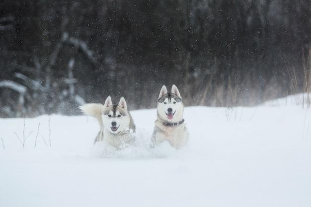 Siberian husky psy na zimę. dwa niesamowite psy husky stojące na śniegu.