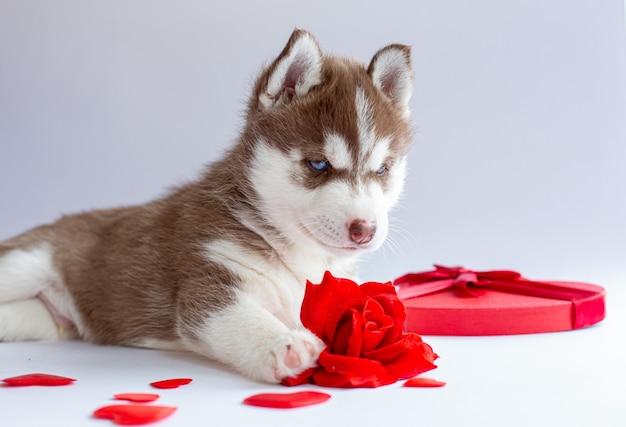 Siberian husky puppy leży na białym tle czerwona róża serce walentynki