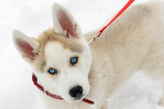 Siberian husky szczeniak pokryty płatkami śniegu, pies o niebieskich oczach w obroży spaceruje po parku.