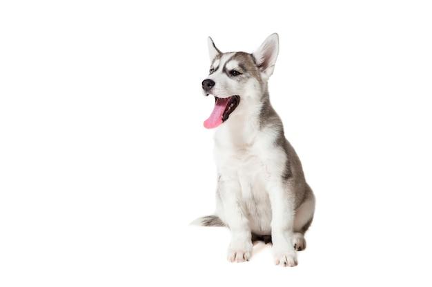 Siberian husky szczeniaka na białym tle na białym tle. pies siedzi i nie patrzy w kamerę