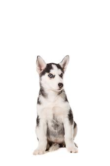 Siberian husky szczeniaka na białym tle na białym tle. pies siedzi i patrzy w kamerę