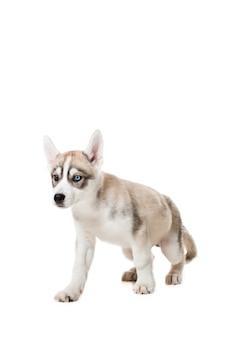 Siberian husky szczeniaka na białym tle na białym tle. pies stoi na czterech nogach i nie patrzy w kamerę