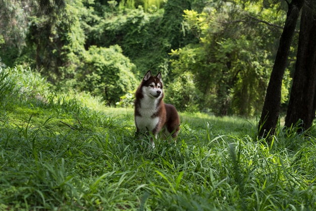 Siberian husky w lesie