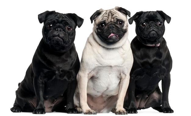 Siedzą trzy mopsy