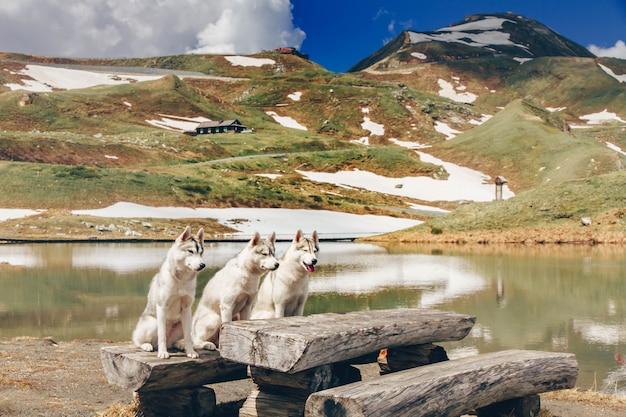 Siedzą trzy psy. stado siberian husky. wiele psów siedzi.