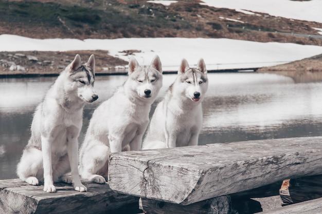 Siedzą trzy psy. stado siberian husky.