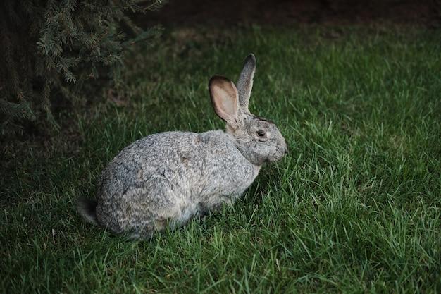 Siedząc na zewnątrz szary zając na zielonej trawie, w pobliżu rośnie świerk. widok z boku.