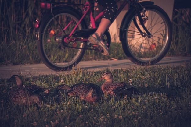 Siedzące na trawie kaczki i osoba jadąca na rowerze