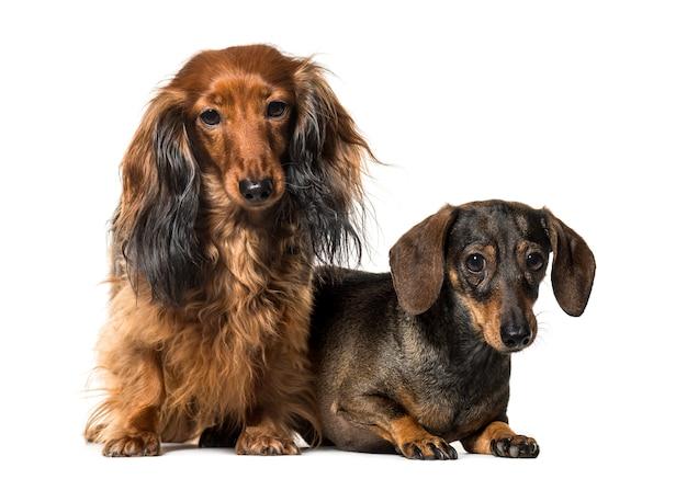Siedzące psy jamnika