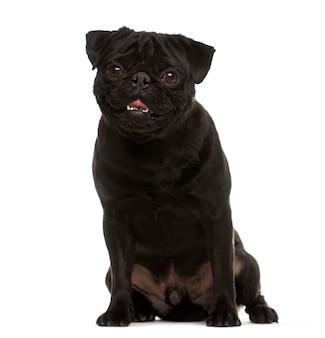 Siedzący czarny mopsa pies patrzeje kamerę odizolowywającą na bielu