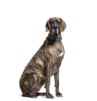 Siedzący dog niemiecki, wycinanka