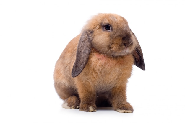 Siedzący królik z uszami
