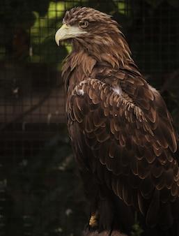 Siedzący orzeł portret. ogród zoologiczny.