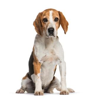 Siedzący pies beagle, na białym tle