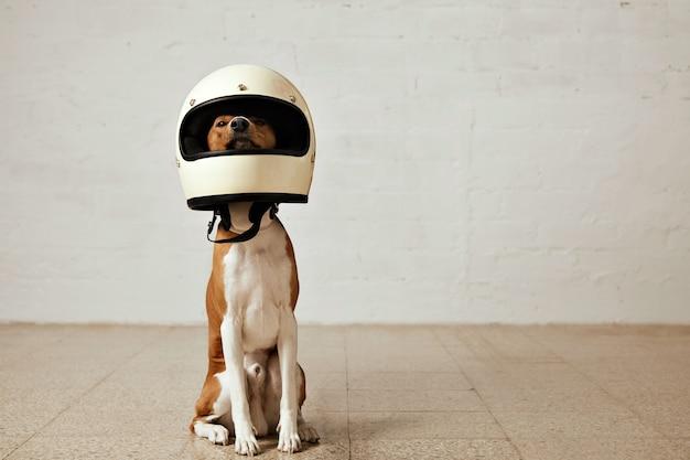 Siedzący pies rasy basenji w ogromnym białym kasku motocyklowym w pokoju o białych ścianach i jasnej drewnianej podłodze