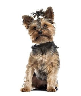 Siedzący pies terier yorkshire