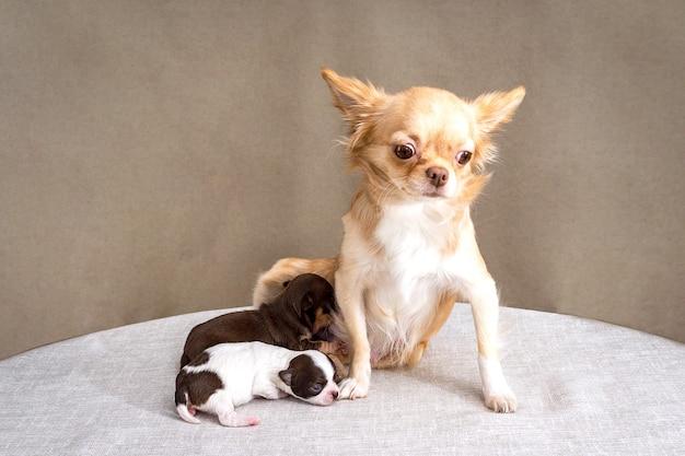 Siedzi rudowłosy pies chihuahua, wokół którego pełzają dwa małe szczeniaki.